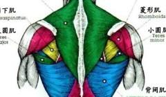斜方肌在哪里,斜方肌作用,怎么锻炼斜方肌.
