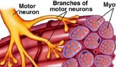 什么是快肌纤维,快肌纤维与增肌之间的关系。