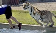压力荷尔蒙——犹如被老虎追赶