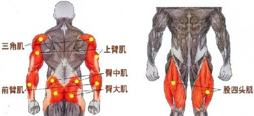 硬拉锻炼肌肉图解