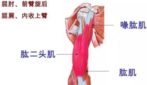 臂部肌肉锻炼动作图解、方法、计划全攻略